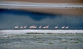 Flamingos in a lagoon in Bolivia,Bolivia Royalty Free Stock Photos