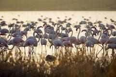 Flamingos at lagoon Fuente de Piedra Stock Photos