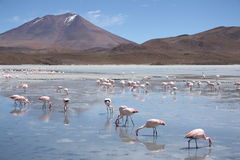 Flamingos in Lagoon Hedionda, Bolivia, Atacama desert Royalty Free Stock Images