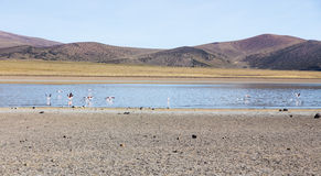 Flamingos in the lagoon Huayñacota in the Natural Park of Sajam Royalty Free Stock Photo