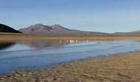 Flamingos in the lagoon Huayñacota in the Natural Park of Sajam Royalty Free Stock Photos