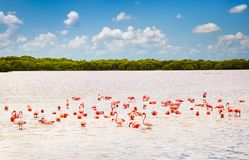 Flamingos at a lagoon Rio Lagartos, Yucatan, Mexico Stock Images