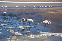 Flamingos in lagoon of Salar de Uyuni Royalty Free Stock Images