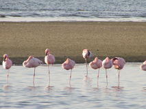 Flamingos standing in water of lagoon  lagoon in nafternoon Royalty Free Stock Photography