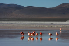 Flamingos on Laguna Colorada. Laguna Colorada (Red Lagoon) is a shallow salt lake in the southwest of the altiplano of Bolivia, within Eduardo Avaroa Andean Royalty Free Stock Photos