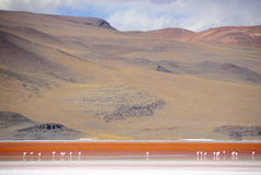Flamingos in the Laguna Colorada. In the southwest part of the Bolivian Andes, in the province of Sud Lípez, part of Potosi, in the middle of the Altiplano Royalty Free Stock Photo
