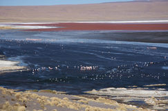 Flamingos in Laguna Colorada, Bolivia, Atacama desert Royalty Free Stock Photos