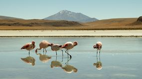Flamingos at Laguna Colorada, Bolivia. Reflections Stock Image