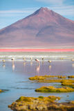 Flamingos - Laguna Colorada - Bolivia Royalty Free Stock Photography