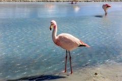 Flamingos in Laguna Colorada, Bolivia Stock Photos