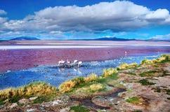 Flamingos in Laguna Colorada, Bolivien lizenzfreie stockbilder
