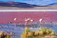 Flamingos in Laguna Colorada, Bolivien stockfotografie