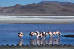 Flamingos at Laguna Colorada. Eduardo Avaroa Andean Fauna National Reserve. Bolivia Stock Photos