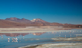 Flamingos at Laguna Colorada Stock Photography