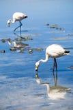 flamingos laguna för blanca bolivia Arkivfoto