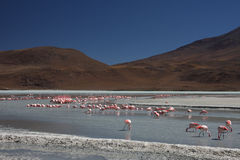 Flamingos on Laguna Hedionda Royalty Free Stock Photo