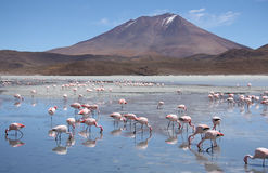 Flamingos in Laguna Hedionda, Bolivia, Atacama desert Stock Photography
