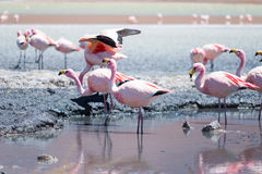 Flamingos in Laguna Hedionda, Bolivia. Laguna Hedionda is located in Bolivia not far from the chilean borders, in this place you can see a lot of flamingos Stock Images