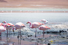 Flamingos in Laguna Hedionda, Bolivia. Laguna Hedionda is located in Bolivia not far from the chilean borders, in this place you can see a lot of flamingos Royalty Free Stock Images