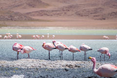 Flamingos in Laguna Hedionda, Bolivia. Laguna Hedionda is located in Bolivia not far from the chilean borders, in this place you can see a lot of flamingos Royalty Free Stock Image