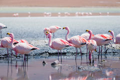 Flamingos in Laguna Hedionda, Bolivia. Laguna Hedionda is located in Bolivia not far from the chilean borders, in this place you can see a lot of flamingos Stock Photography