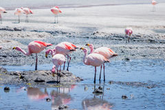 Flamingos in Laguna Hedionda, Bolivia. Laguna Hedionda is located in Bolivia not far from the chilean borders, in this place you can see a lot of flamingos Stock Photos