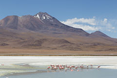 Flamingos on Laguna Hedionda Royalty Free Stock Photography