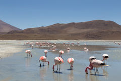 Flamingos on Laguna Hedionda Stock Photography
