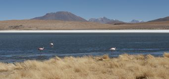 Flamingos in Laguna Hedionda, a saline lake in the Nor Lípez Province, Potosí Department - located in the Bolivian altiplano Royalty Free Stock Photos