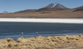 Flamingos in Laguna Hedionda, a saline lake in the Nor Lípez Province, Potosí Department - located in the Bolivian altiplano Royalty Free Stock Photography