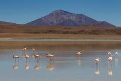 Flamingos at Laguna Ramaditas Stock Image