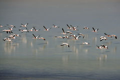 Flamingos in the Lagunas of Lipez, Bolivia Stock Photography