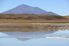 Flamingos in the Lagunas of Lipez, Bolivia. In the southwest part of the Bolivian Andes, in the province of Sud Lípez, part of Potosi, in the middle of the Stock Photo