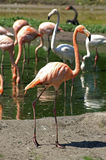 Flamingos in lake. Scenic view of group of flamingos in lake royalty free stock photo