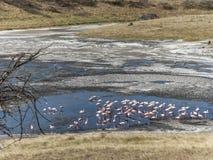 Flamingos in the lake African Safari Tanzania Stock Photo