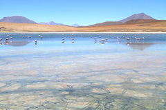 Flamingos on lake in Andes Royalty Free Stock Images