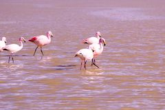 Flamingos on lake in Andes Stock Images