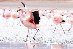 Flamingos on lake in Andes Royalty Free Stock Image