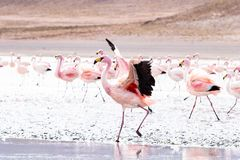 Flamingos on lake in Andes Royalty Free Stock Photo