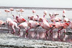 Flamingos on lake in Andes Stock Photography
