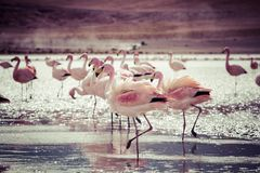 Flamingos on lake in Andes, the southern part of Bolivia Royalty Free Stock Photography