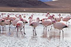 Flamingos on lake in Andes, the southern part of Bolivia Stock Image