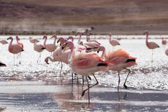 Flamingos on lake in Andes, the southern part of Bolivia Stock Photography