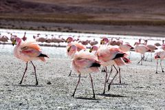 Flamingos on lake in Andes, the southern part of Bolivia Royalty Free Stock Images