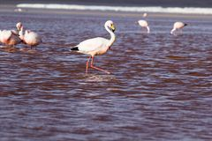 Flamingos on lake in Andes, the southern part of Bolivia Stock Photo