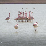 Flamingos on lake in Andes, the southern part of Bolivia Royalty Free Stock Image