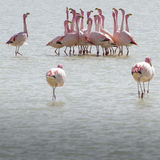 Flamingos on lake in Andes, the southern part of Bolivia Stock Images