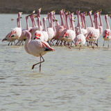 Flamingos on lake in Andes, the southern part of Bolivia Royalty Free Stock Photo