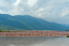 Flamingos in Lake Bogoria. Royalty Free Stock Photography