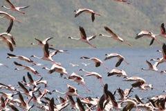 Flamingos at Lake Bogoria, Kenya. Flamingos at Lake Bogoria in Kenya Stock Photography